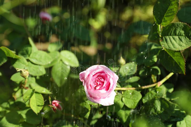 Beautiful green bush with pink roses in garden on rainy summer day. Closeup view royalty free stock images