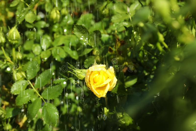 Beautiful green bush with yellow rose in garden on rainy summer day. Closeup view stock images