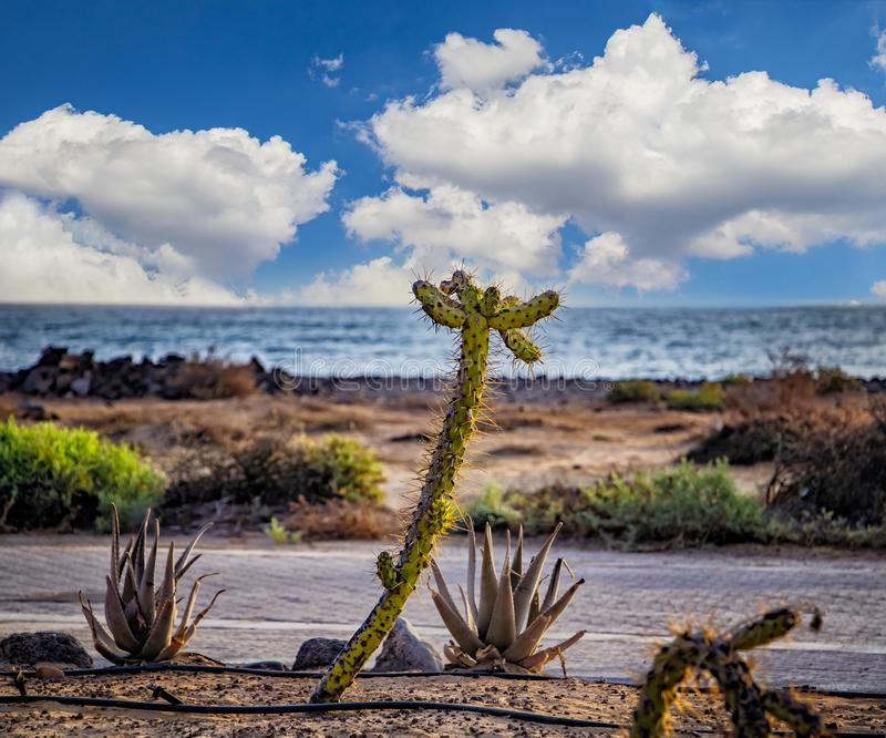 Beautiful green cactus by the sea water, Fuerteventura, Canary island royalty free stock images