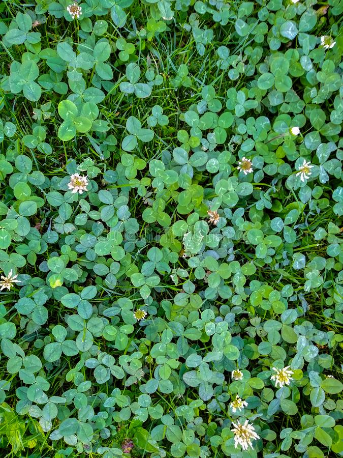 Beautiful green clovers royalty free stock images