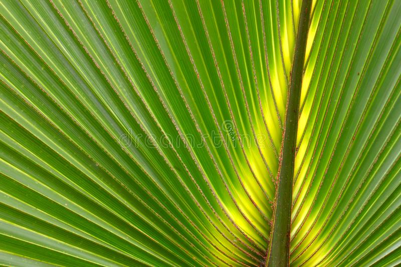 Palmetto Background Florida. Beautiful green coloration of a palmetto frond in Florida royalty free stock photos