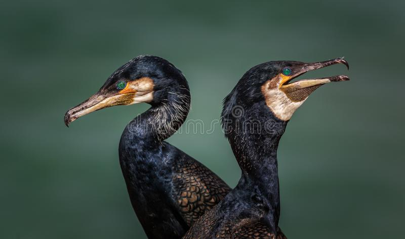 Beautiful Green eyes, Great cormorant Phalacrocorax carbo stock images