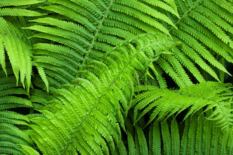 Beautiful green fern leaves natural background royalty free stock photography