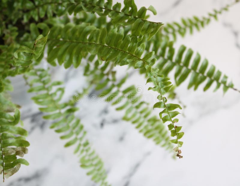 Beautiful green ferns. With marble background stock image