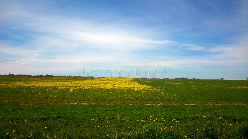 A beautiful green field with yellow marigolds, near the town of Vologda stock photography