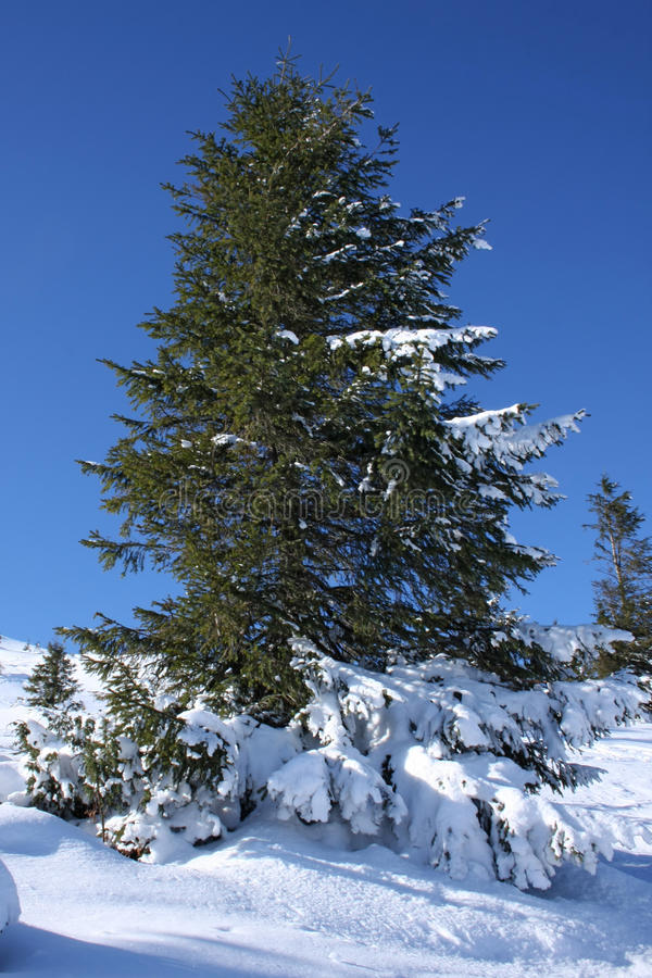 Beautiful green fir-tree in to snow stock images