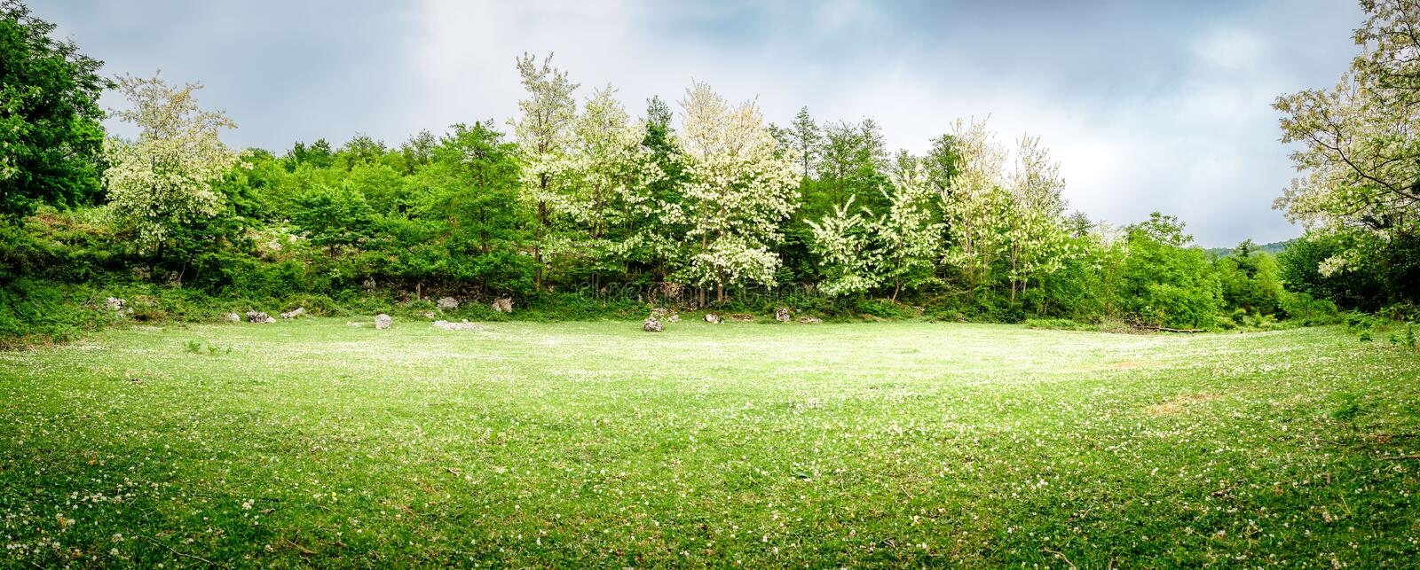 A beautiful green glade with flowering acacia trees and clover flowers. Panoramic view. Spring nature background royalty free stock photos