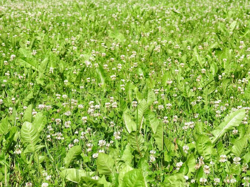 White clover and green grass, Lithuania. Beautiful green grass and white blooming clover, can use as background royalty free stock photo