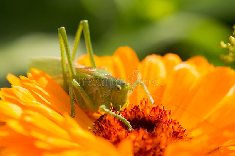 A beautiful green grasshopper sitting on a calendula. Insect resting on a flower. English marigold closeup. stock images