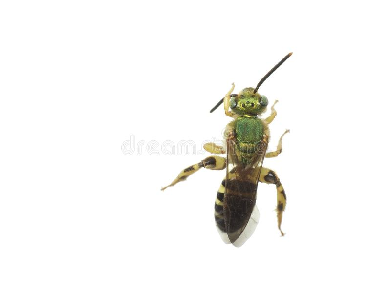 Sweat Bee on white. A beautiful green halictid sweat bee on a white background in Tampa, Florida stock image