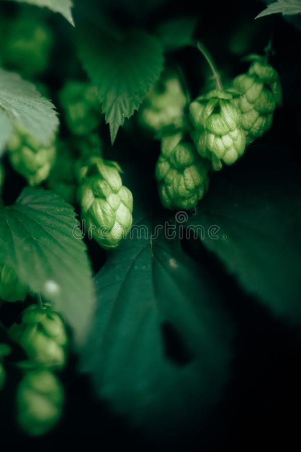 Beautiful green hop cones on bush close up. Macro view of hop cone and leaves. Fresh organic brewing beer concept. Space for text royalty free stock images