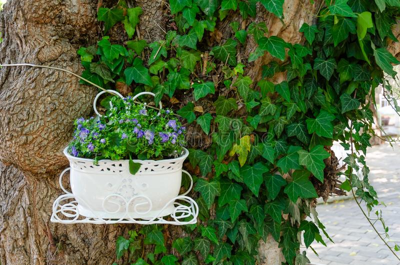 Beautiful green ivy climbing up the huge tree trunk and a white flowerpot with purple flowers. Scenic natural background. Closeup royalty free stock photography