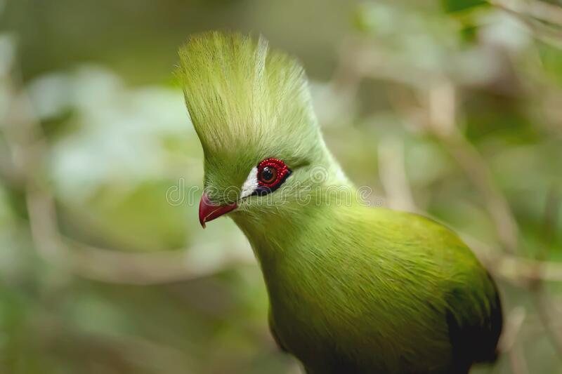 A beautiful green Knysna loerie is a large turaco living in the green forest of the Garden Route in hiding because of its shyness. The Knysna turaco, or, in stock image