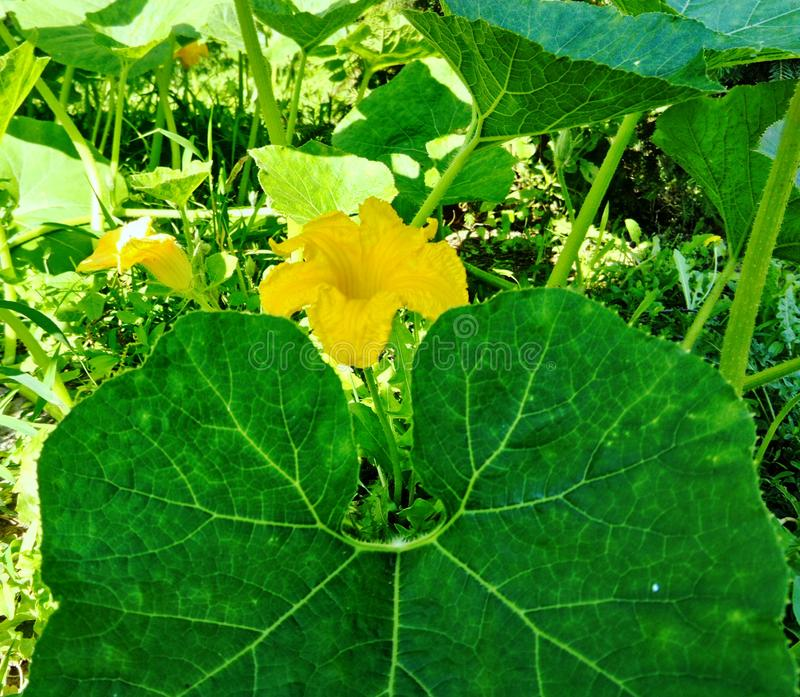 Beautiful green leaf and flowers of pumpkin plant. Beautiful green leaf and yellow flowers of pumpkin creeping vine growing in the garden stock photography