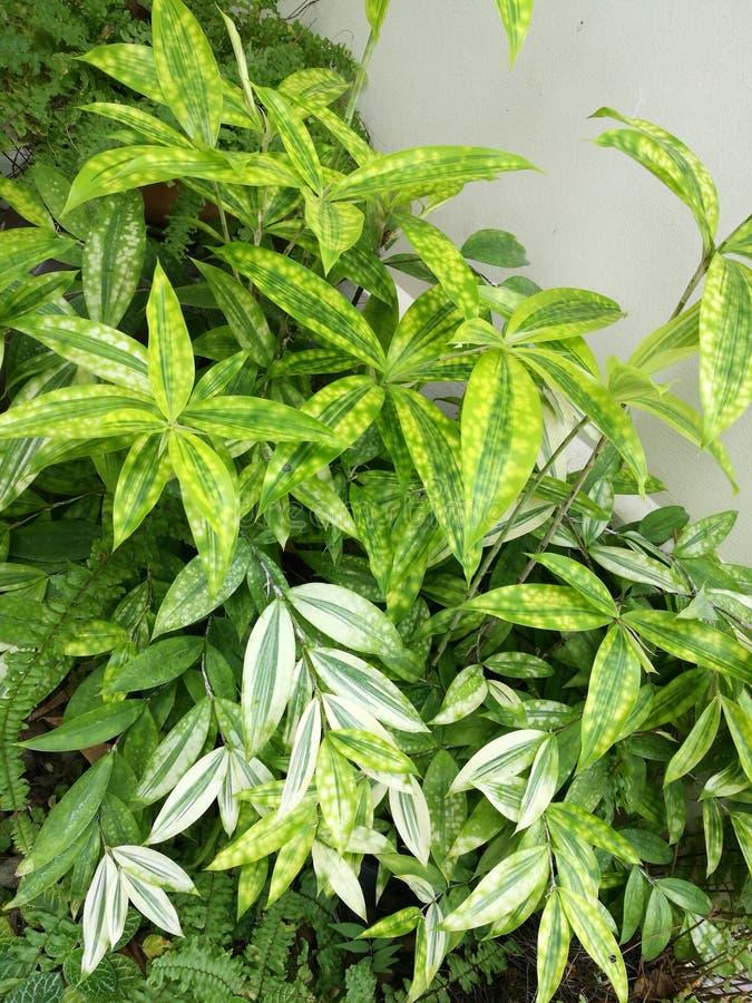 Beautiful green leaf of golddust dracaena stock image