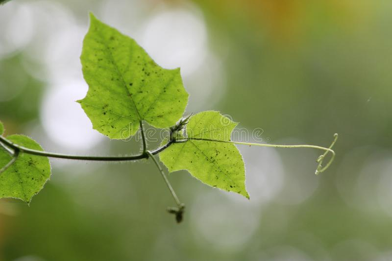 Beautiful green leaf. A leaf is an organ of a vascular plant and is the principal lateral appendage of the stem. The leaves and stem together form the shoot royalty free stock images