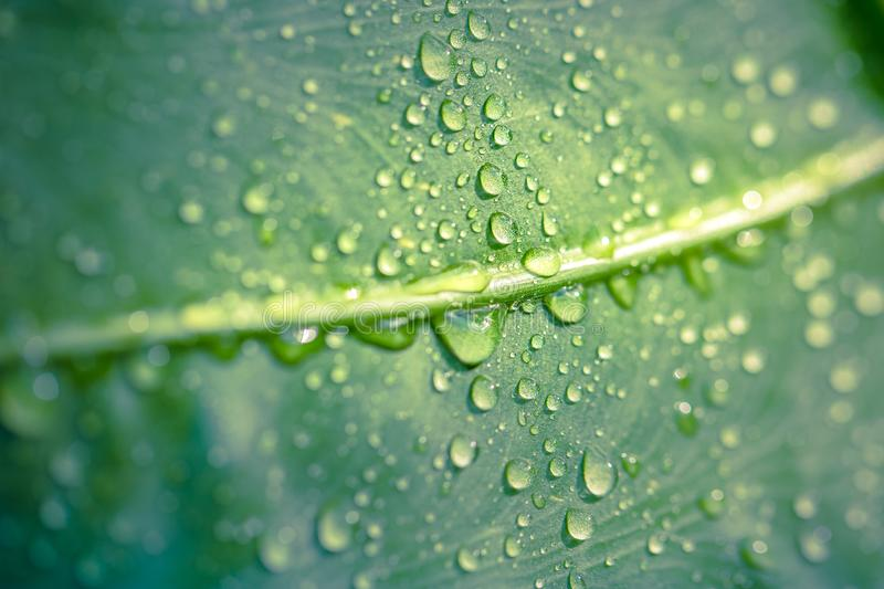 Water drop on a leaf after rain under sunlight. Macro photo of green leaf royalty free stock image