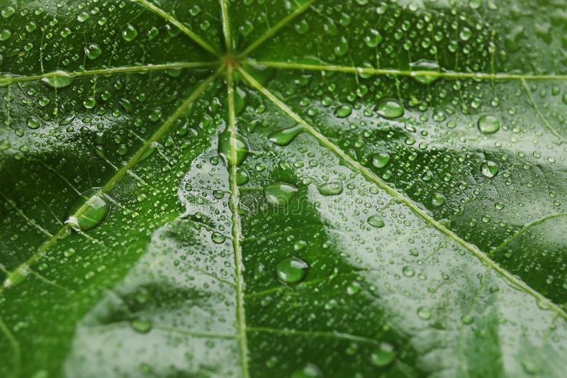 Beautiful green leaf with water drops. Closeup royalty free stock image