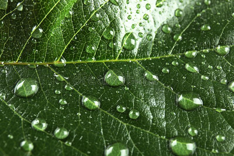 Beautiful green leaf with water drops,. Closeup stock images