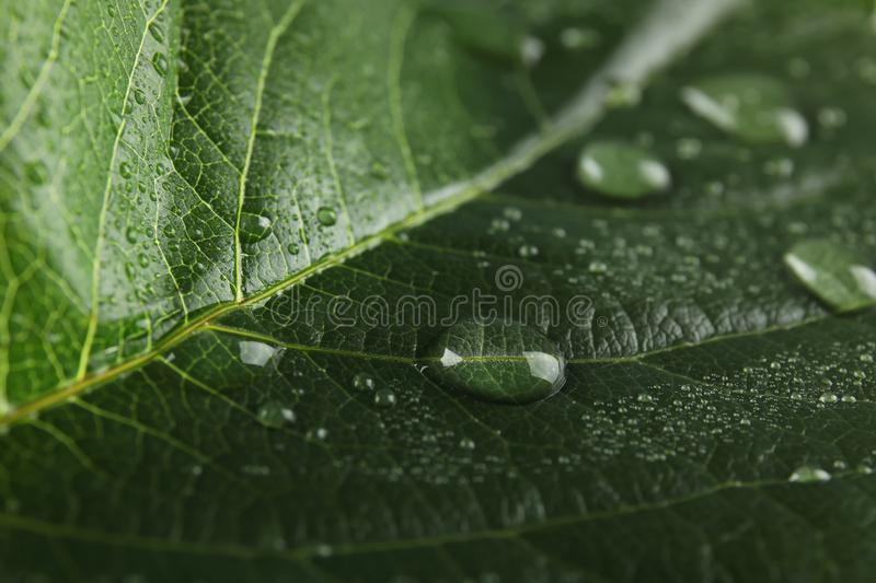 Beautiful green leaf with water drops. Closeup stock photography