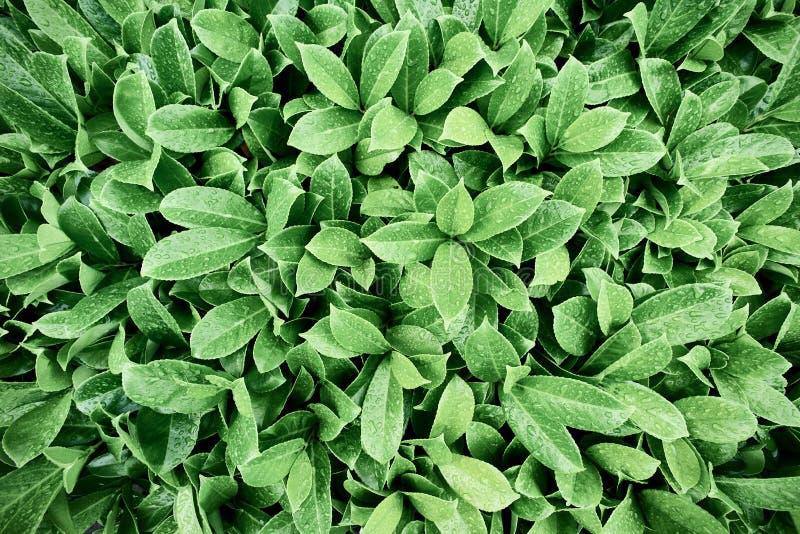Beautiful green leaves of bush stock photography