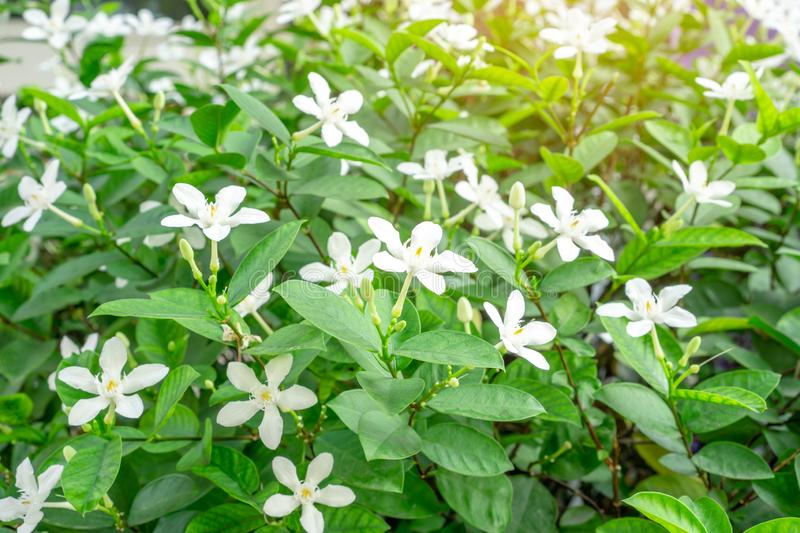 Beautiful green leaves bush and petite starry pure white petals of Snowflake fragrant flower blooming under sunlight stock image