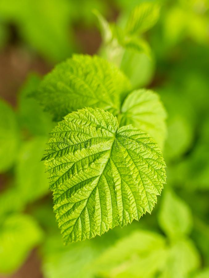 Beautiful green leaves on raspberries in nature stock images