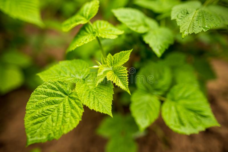 Beautiful green leaves on raspberries in nature royalty free stock photography