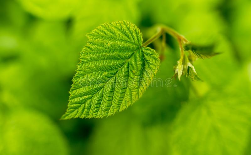 Beautiful green leaves on raspberries in nature royalty free stock photos