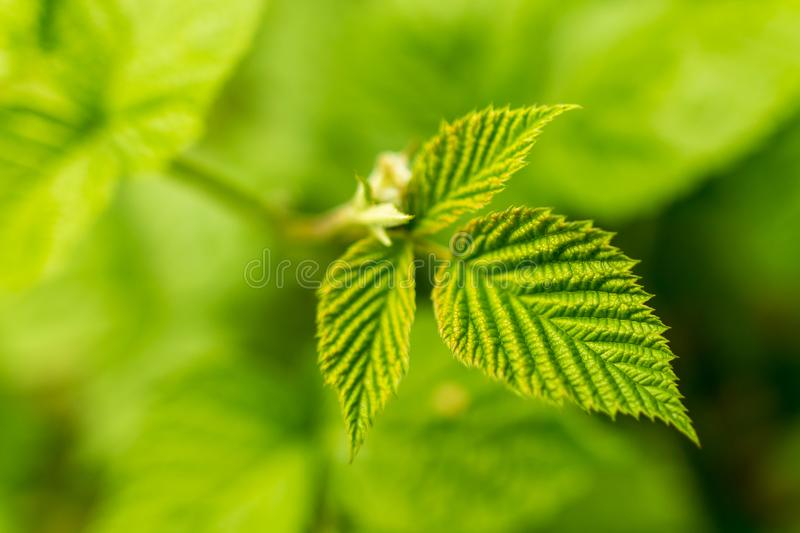 Beautiful green leaves on raspberries in nature royalty free stock images