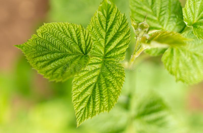 Beautiful green leaves on raspberries in nature stock photography