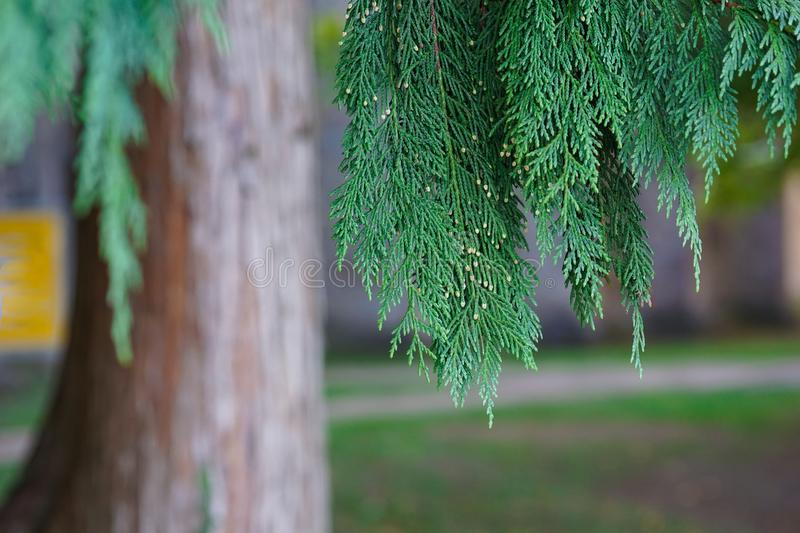 Beautiful green leaves of Thuja trees. Background with evergreen coniferous tree for your design stock images