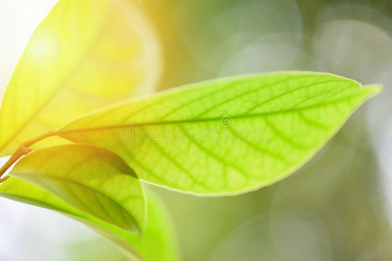 Beautiful green leaves on tree with sunlight soft focus and blur tree background / Close up leaf royalty free stock images