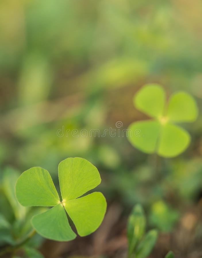 Download Beautiful Green Leaves Of Water Clover (Water Fern, Pepperwort) Stock Image - Image: 41350127