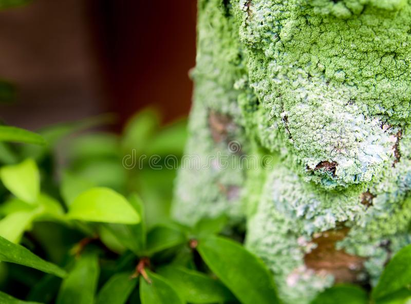 Beautiful green lichen, moss and algae growing on tree trunk royalty free stock photos