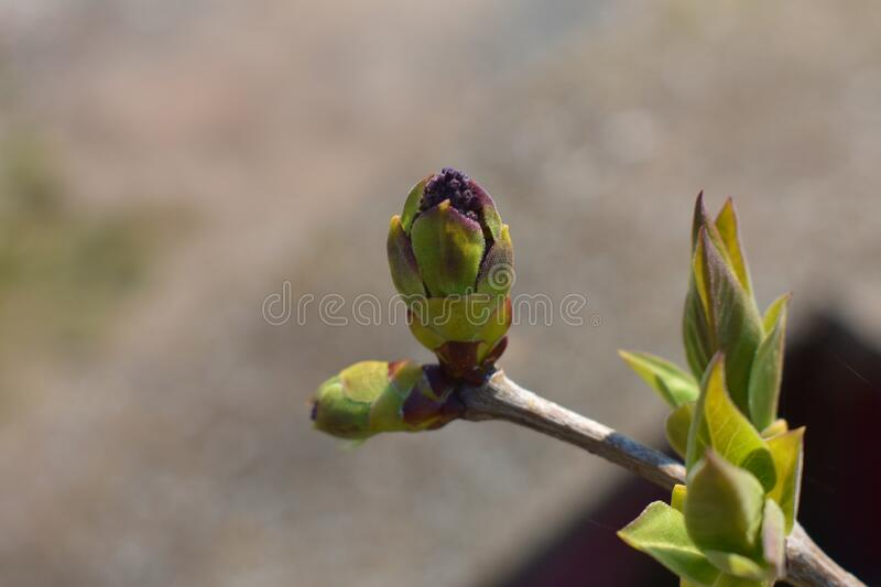 A beautiful green Lilac bud stock images