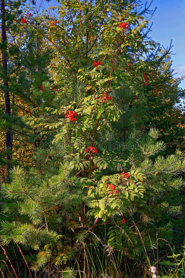 Bright red clusters of mountain ash.The background. Beautiful green natural sour unripened round berries of mountain ash on a branch of a rowan tree with green stock image