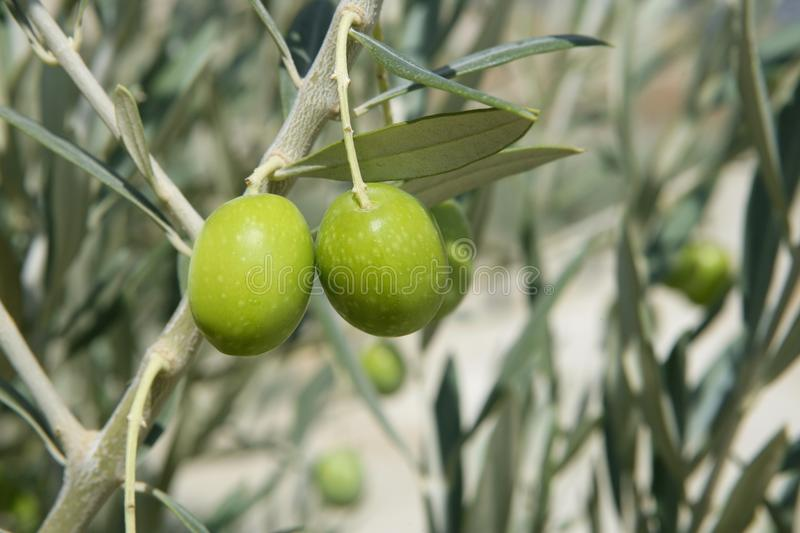 Beautiful green olive field macro over blue sky royalty free stock images
