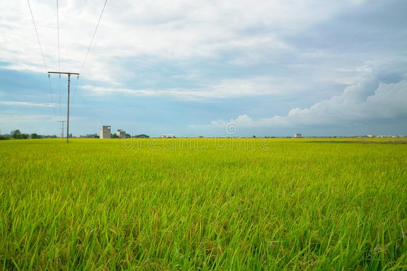 Beautiful green paddy field stock image