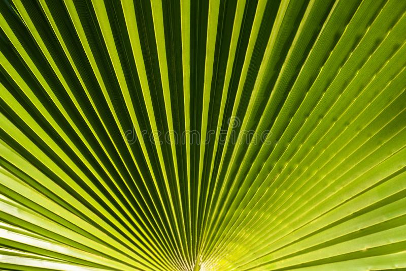 Beautiful green palm tree leave texture close up details. Pattern with nice straight lines stock photos