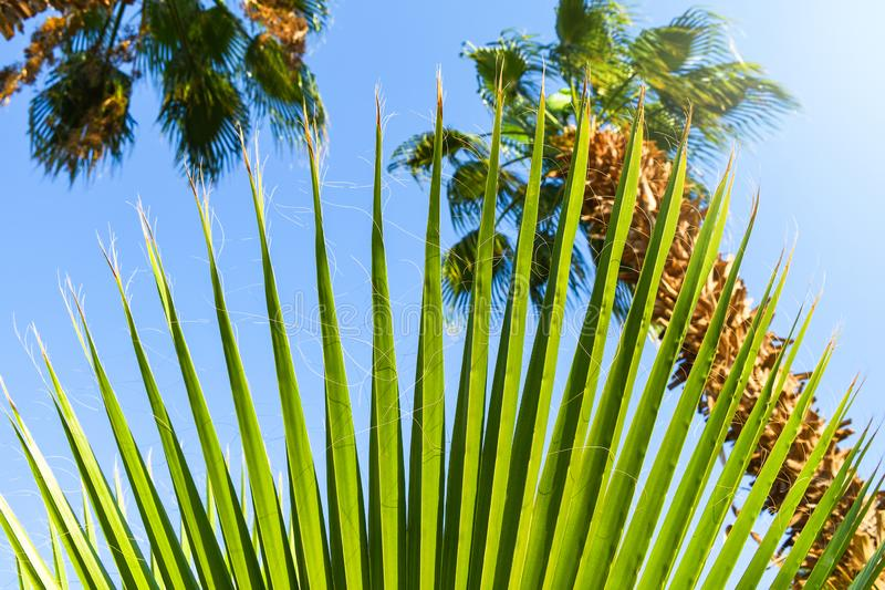 Beautiful green palm tree leave texture close up details. Pattern with nice straight lines royalty free stock photos