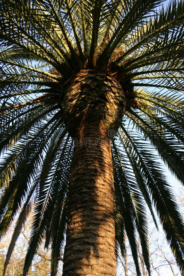 Beautiful green palm tree in public park, Valencia, Spain stock images