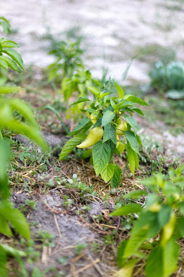 Beautiful green peppers in a rural garden.  stock photography