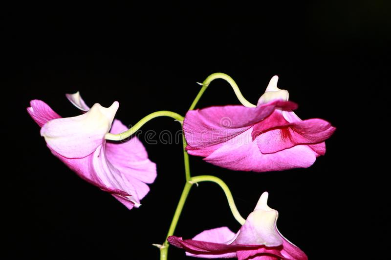 A beautiful green and purple flower stock images