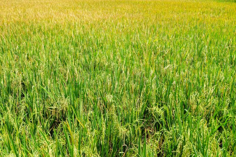Beautiful Green rice fields royalty free stock image