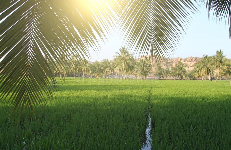 Beautiful green rice fields in Hampi, India. Palm trees, sun and royalty free stock photos