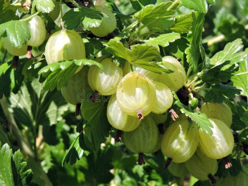 Green gooseberry on bush branches in garden, Lithuania stock photos