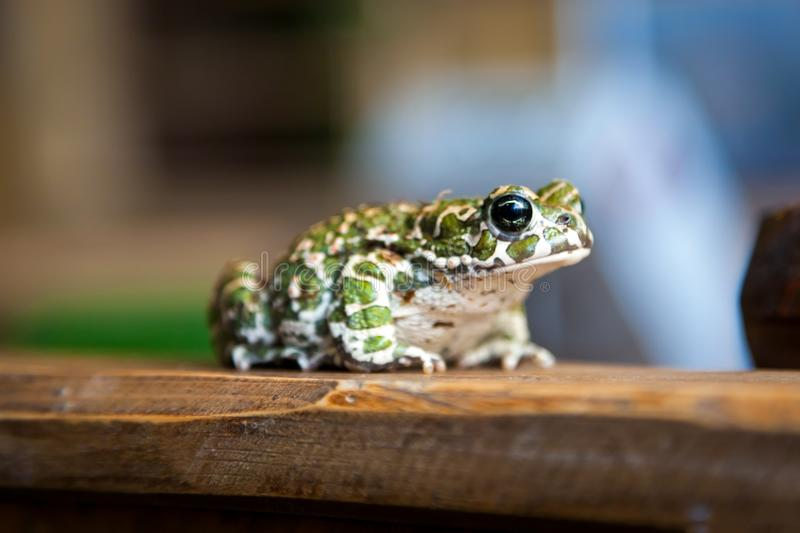 Beautiful green spotted frog. Close-up of a beautiful green spotted frog or Pelophylax ridibundus with large black eyes sitting on a wooden shelf stock photography