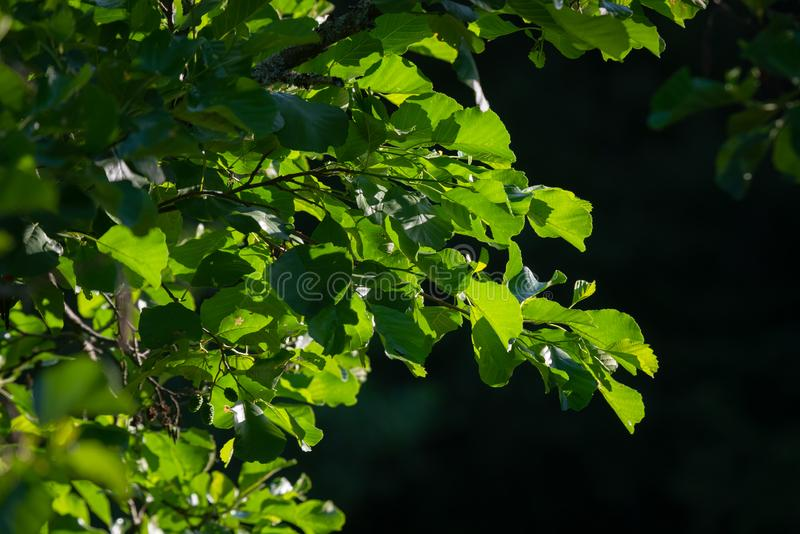 Beautiful green tree leaves back lit by the morning sun. Lush tree trunks backlit by sun light and dark background stock photo