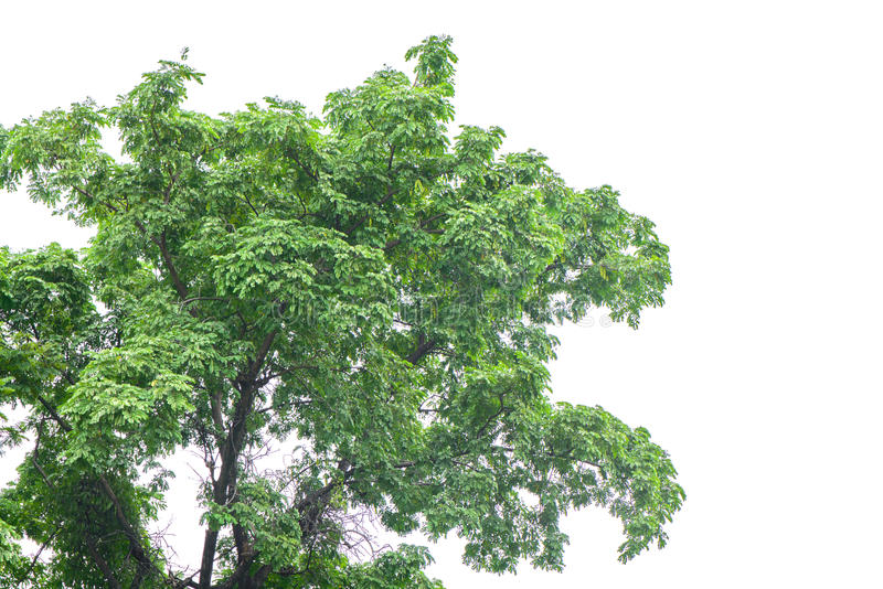 Beautiful green tree on a white background. stock images